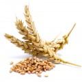Семена ячменя (4)
